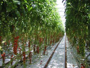 tomato row in glasshouse