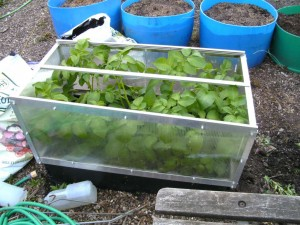 Potatoes in Coldframe Raised Bed