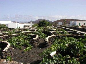 Windbreaks around vines in Lanzarote