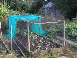 Brassicas under netting