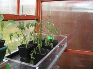 Tomatoes from side shoots