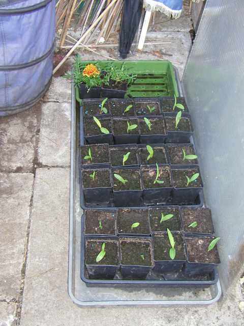 Sweetcorn in Pots