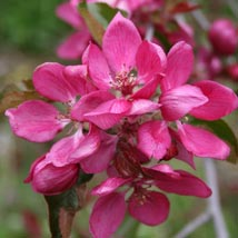 Redlove Apple Blossom