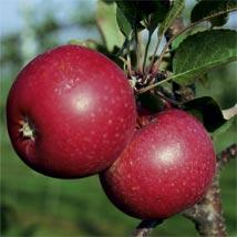 Redlove Apples