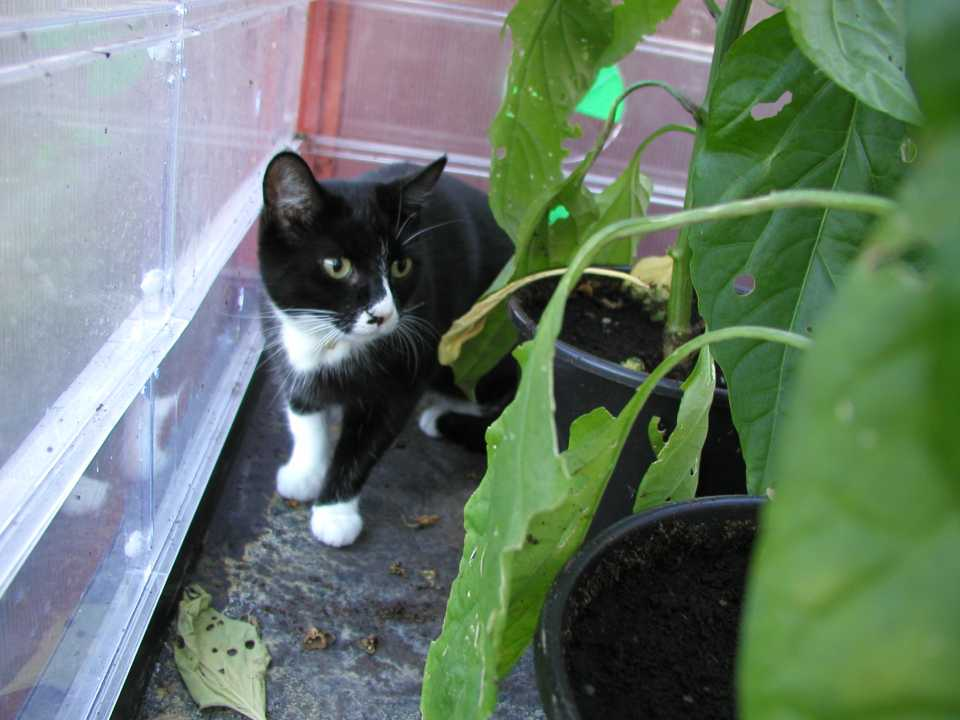 Pixie cat in the greenhouse peppers