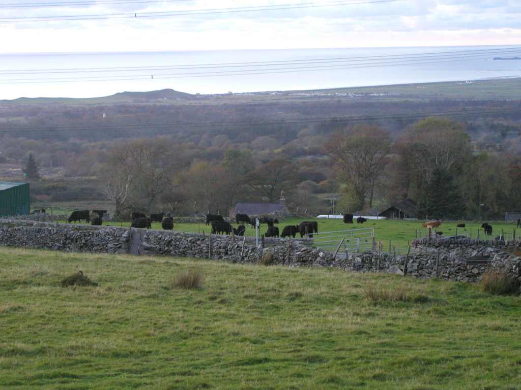 Black Welsh Cattle