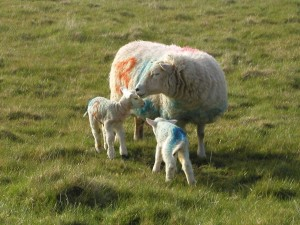 Mother with two lambs