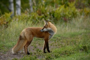 Allotment Fox