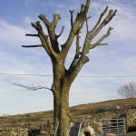 Sycamore Tree Trimmed
