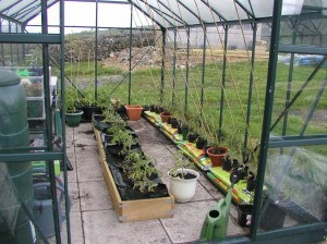 Tomatoes planted in the greenhouse