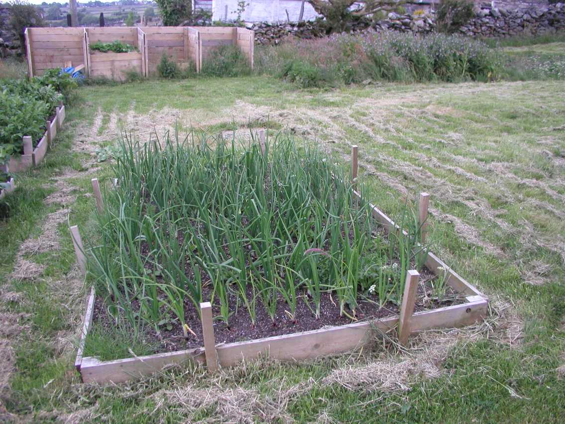 Onion Bed