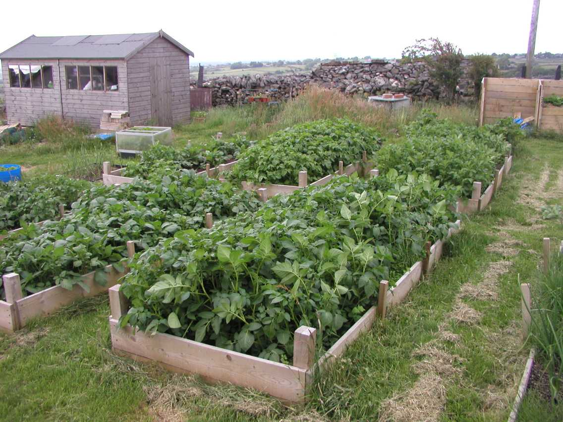 Potatoes in Raised Beds