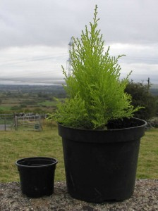 Conifer Potted On