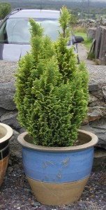 Conifer in Final Pot
