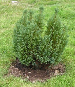 Conifer Planted Out