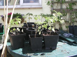 Poor Tomato Plants