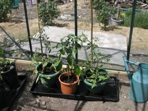Tomatoes Pepper Plants