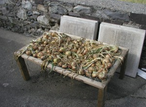 Onions Drying on Frame