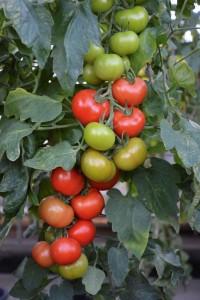 Tomato Crimson Crush