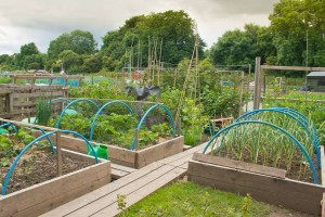Raised beds on allotment