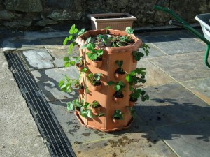 Strawberry Planter Filled