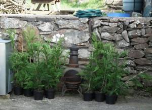 Leylandii in Pots