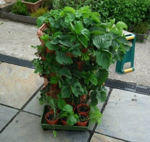 """Strawberry Barrel with Plantlets Pegged into 3"""" Pots"""