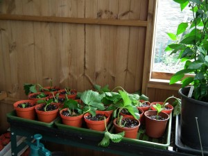 Strawberry Plantlets