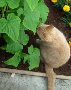 Cat Eating Cucumber Leaves