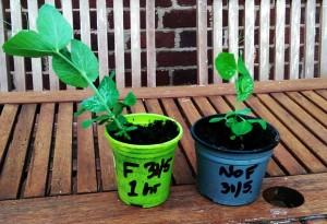 Trial pea seedlings