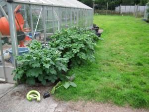 Sarpo Growing in Pots