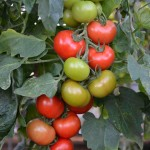 Crimson Crush Tomatoes