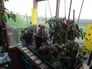 Chilli Peppers in the Solar Shed