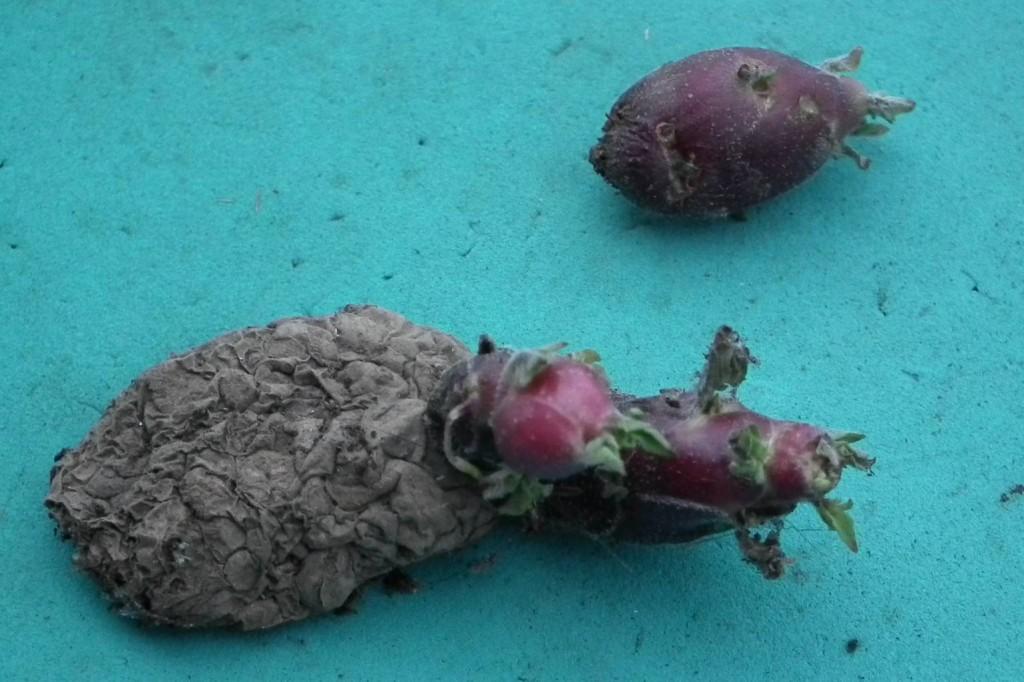 Old Seed Potato