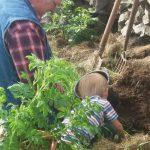 Planting Rose