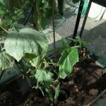 Powdery Mildew Cucumber