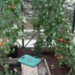 Ailsa Craig Sungold Tomatoes