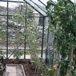 Last Tomatoes in Greenhouse
