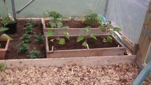 Aubergine Tomatoes Marigolds Polytunnel