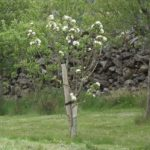Bardsey Apple in Flower