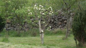 Bardsey Apple in Flower