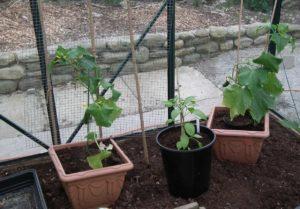 Cucumbers Pepper Greenhouse