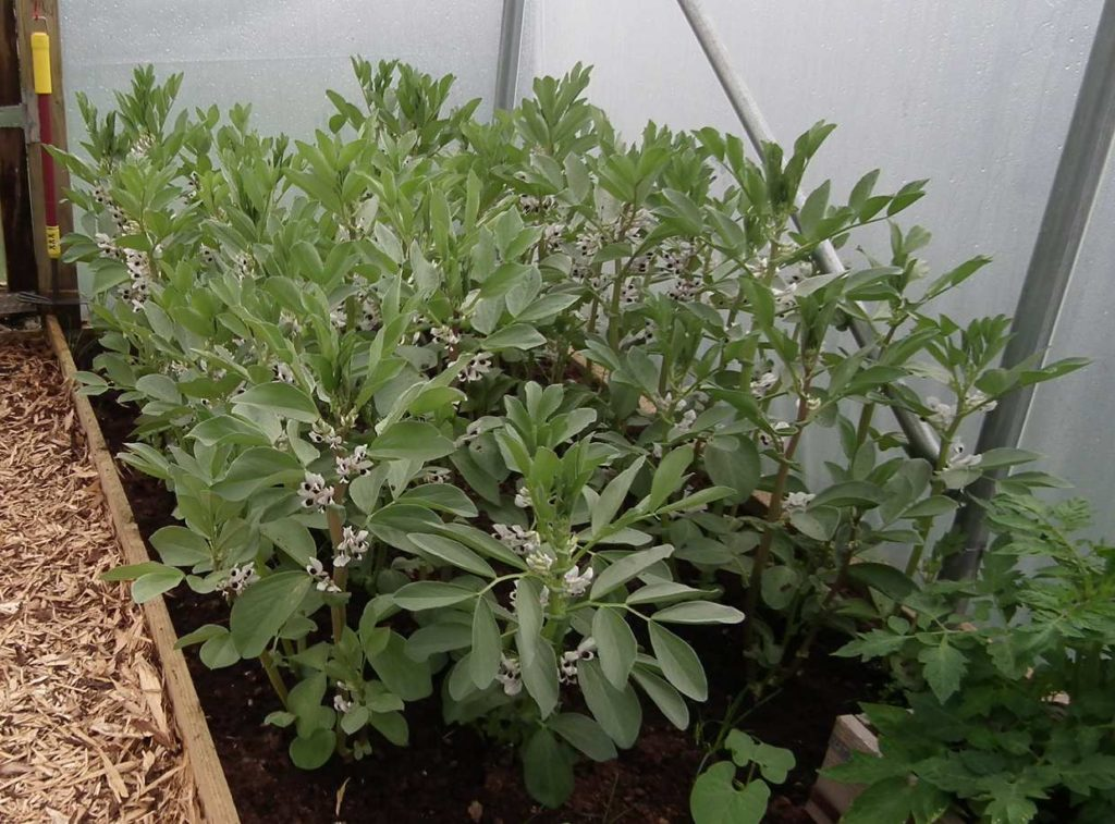 Broad Beans Polytunnel