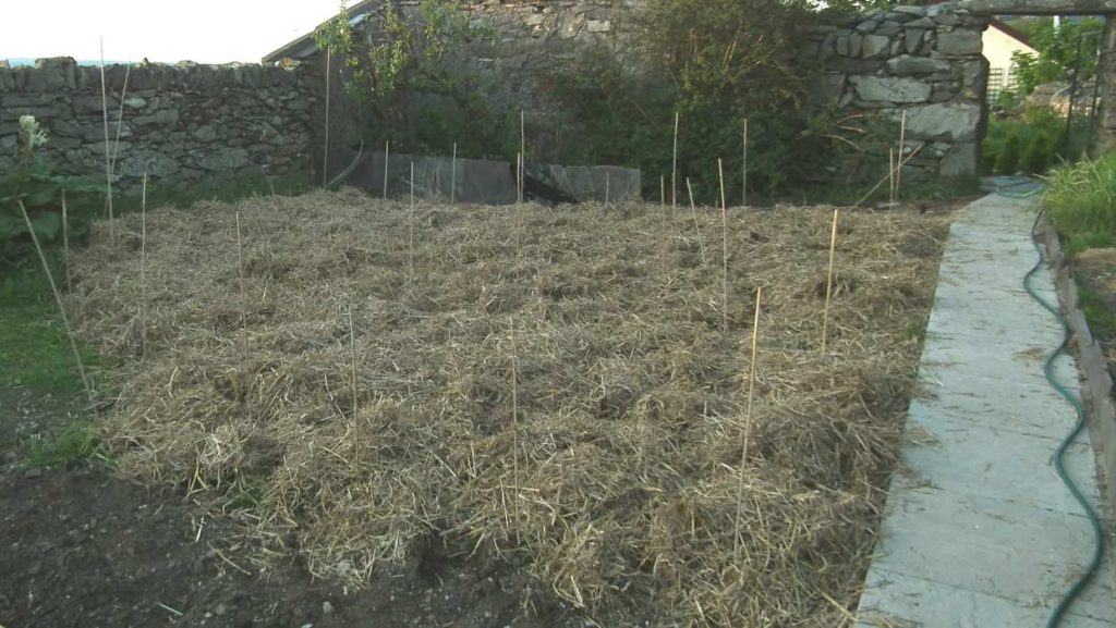 Straw Mulched Potatoes
