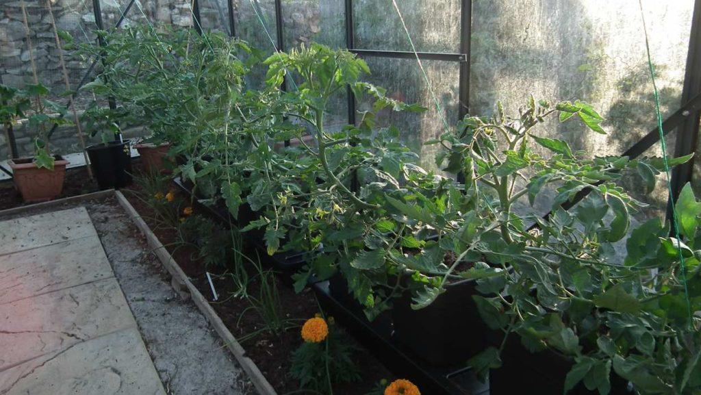 Tomatoes in Quadgrow