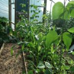 Beans Sweetcorn in Polytunnel