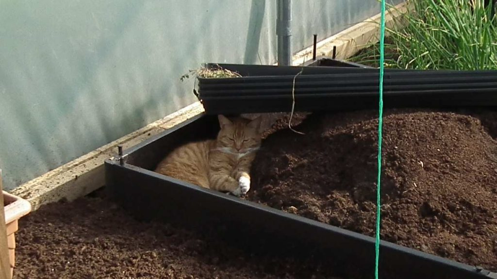Cat in Shade in Polytunnel