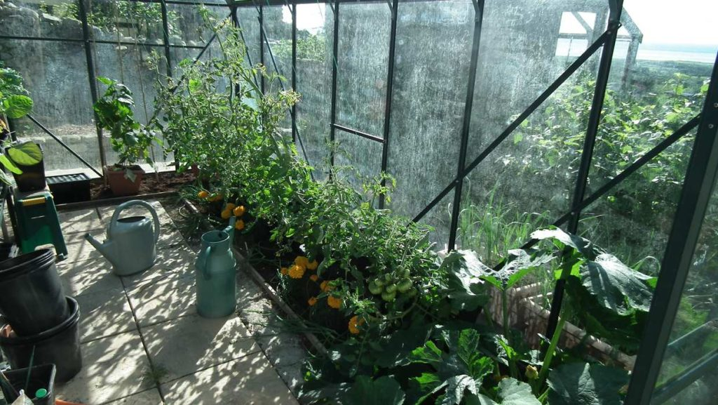 Tomatoes and courgette in Greenhouse