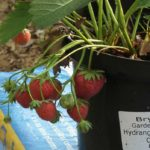 Strawberries Growing in Pot