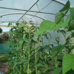 Sweet Corn High in Polytunnel